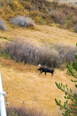Bull Moose in Grand Tetons.  You could hear him grunt